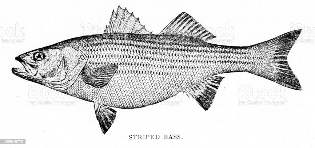 Stripped bass engraving 1898 vector art illustration