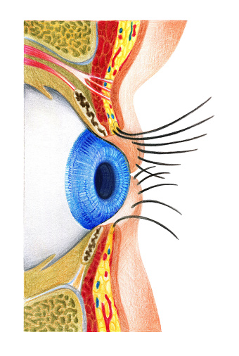 Structure of eyes
