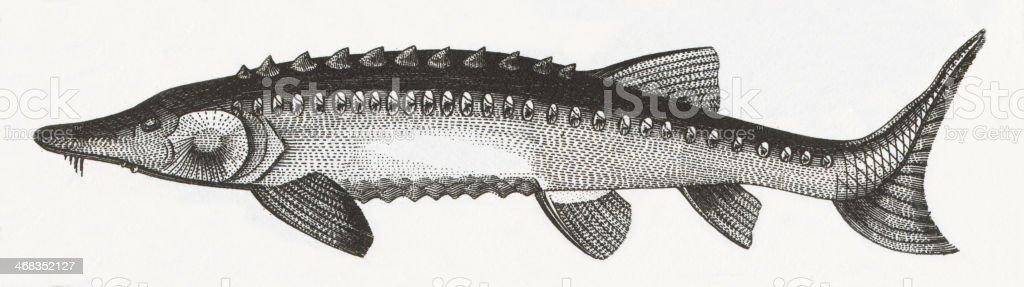 Sturgeon Fish Engraving royalty-free sturgeon fish engraving stock vector art & more images of 19th century