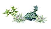 Succulents, echeveria illustration, botanical painting of dudleya and zwartkop. Stone rose. Sempervivum art. Watercolor elements for design.