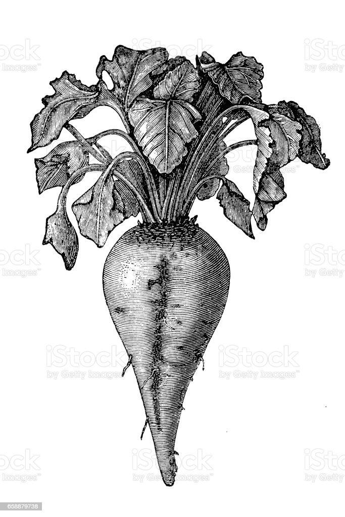 Sugar beet (Beta vulgaris) vector art illustration