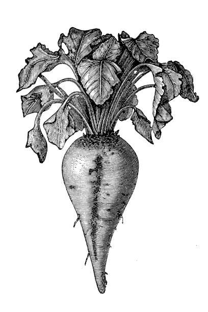 Sugar beet (Beta vulgaris) Illustration of a Sugar beet (Beta vulgaris) beet stock illustrations