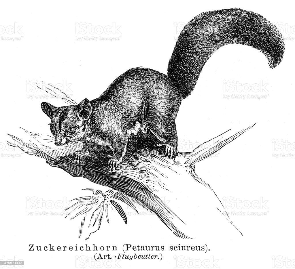 Sugar squirrel engraving 1895 vector art illustration