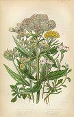 Sunflower, Acrimony, Goldilocks, Everlasting, Helichrysum, Victorian Botanical Illustration