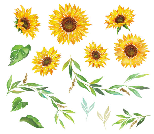 sunflower - sunflower stock illustrations