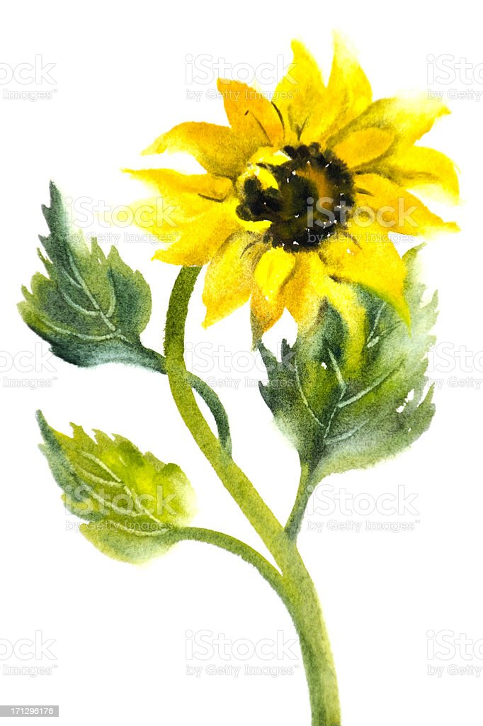 Sunflower on a White Background royalty-free stock vector art