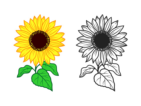 Sunflower vector. Print for t-shirt, color and monochrome icons of sunflower on white background, isolated sunflowers