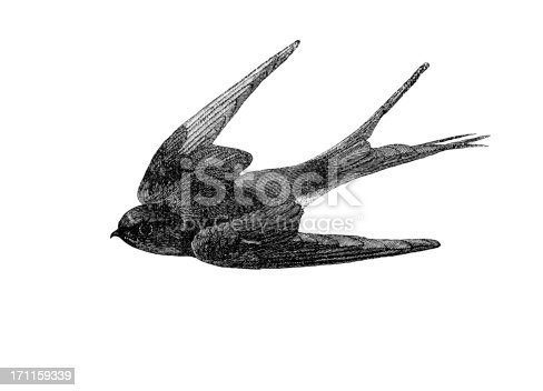Swallow Engraving
