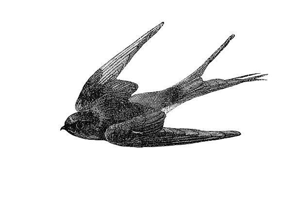 illustrations, cliparts, dessins animés et icônes de avaler illustration - tatouages d'oiseaux