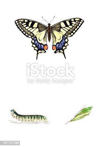 Swallowtail Butterfly with Caterpillar and Chrysalis