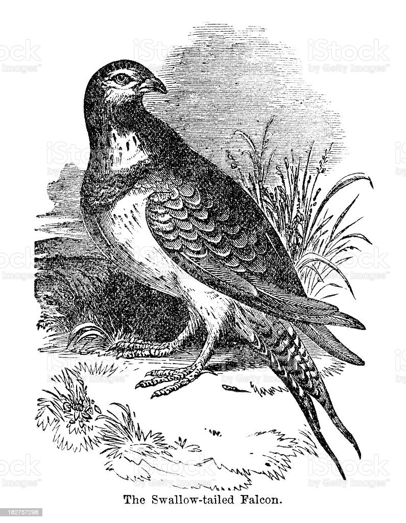 swallowtailed falcon royalty-free stock vector art