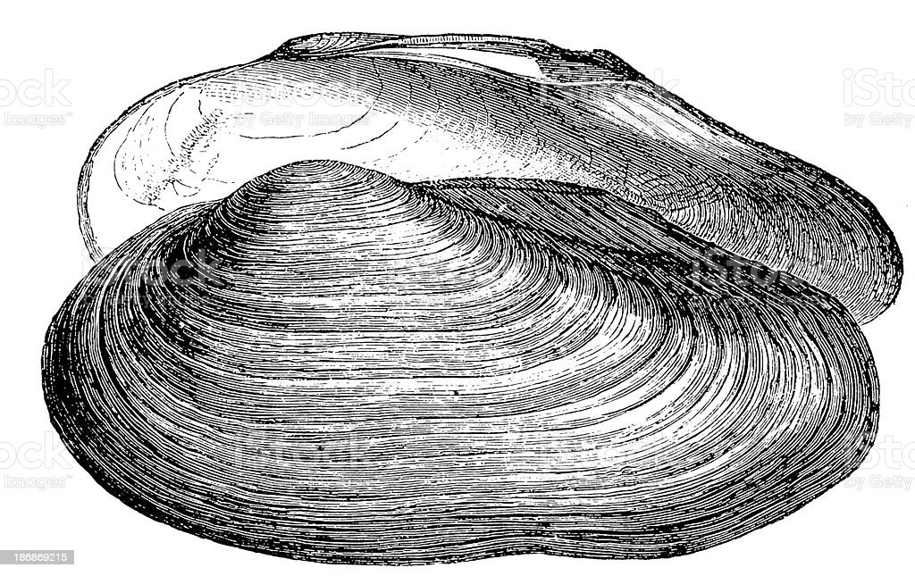 Swan Mussel (Anodonta Cygnea) royalty-free stock vector art