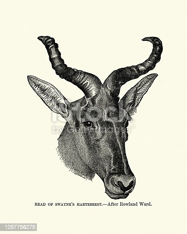Vintage illustration of Swayne's hartebeest (Alcelaphus buselaphus swaynei) is an endangered antelope native to Ethiopia.