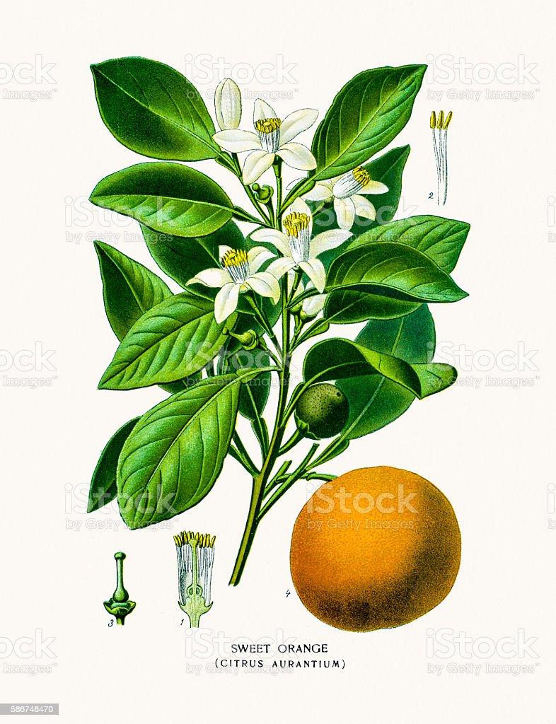Sweet Orange flower and fruit vector art illustration