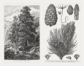 Swiss pine (Pinus cembra), wood engravings, published in 1897