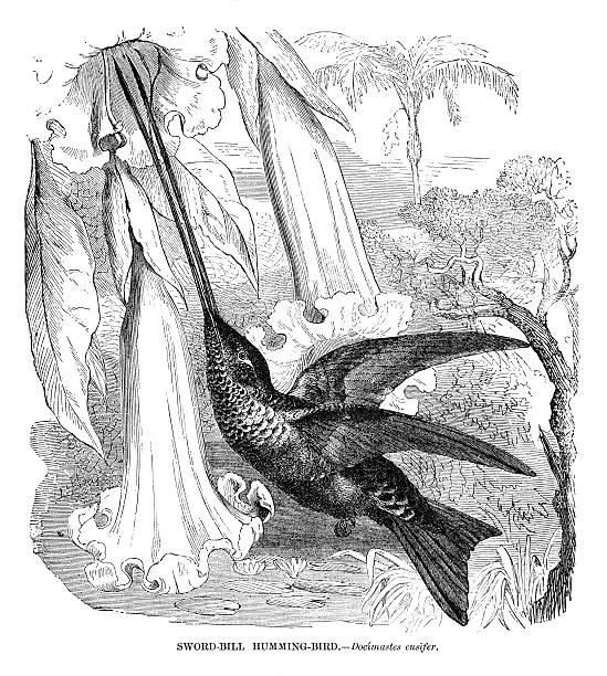 Sword-billed hummingbird vector art illustration
