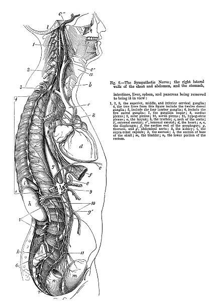 Sympathetic Nerve Vintage engraving showing the Sympathetic Nerve,1864 medical diagrams stock illustrations