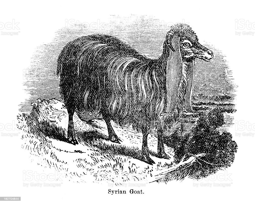 Syrian goat royalty-free stock vector art