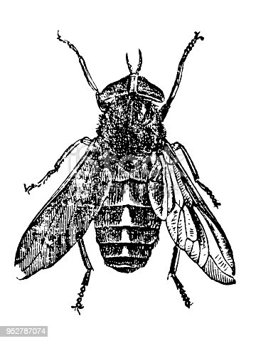 Illustration of a Tabanus bovinus, pale giant horse-fly