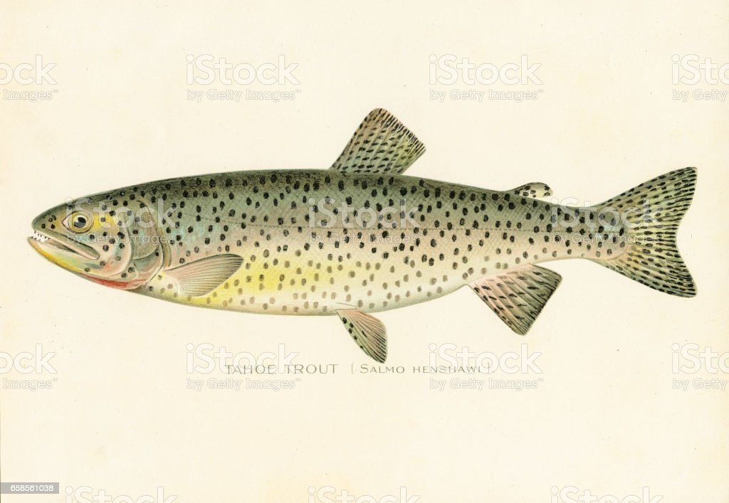 Tahoe trout chromolithograph 1898 vector art illustration