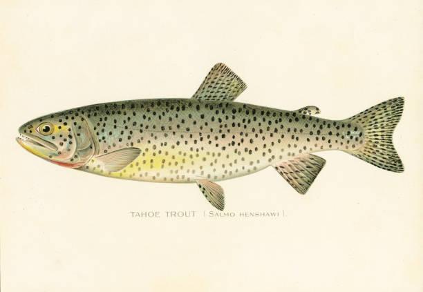 illustrazioni stock, clip art, cartoni animati e icone di tendenza di tahoe trout chromolithograph 1898 - trout