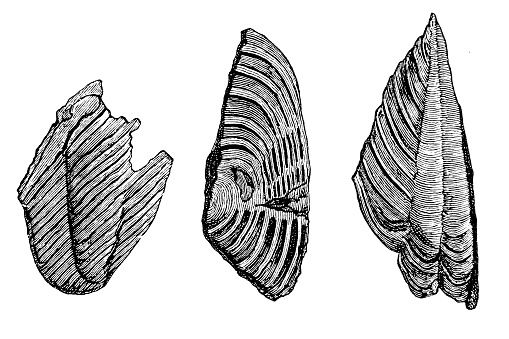 Tail shields of trilobites from the mica schist of Bergen in Norway