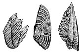 Illustration of a Tail shields of trilobites from the mica schist of Bergen in Norway