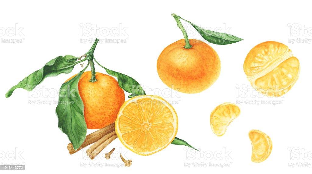 Mandarinen Isolierten Scheiben Von Mandarinen Und Arten Aquarell