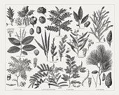 Tanning materials supplying plants, wood engravings, published in 1897