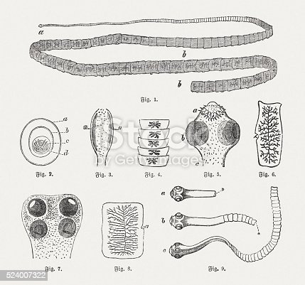 Tapeworms: 1) Pork tapeworm (Taenia solium), a. Scolex (head), b. Proglottids (body segments); 2) Egg (Taenia solium), a. outer, b. center, c. inner shell, d. embryo with six hooks; 3) Head of Bothriocephalus latus, 4) Strobila of Bothriocephalus latus; 5) Head of Taenia solium, a. hooks, b, suckers, c. neck; 6) Proglottids of Taenia solium; 7) Head of the Beef tapeworm (Taenia saginata); 8) Proglottids of the Beef tapeworm; 9) Developmental stages of the Porg tapeworm, a. scoler, b. budding scoler, c. small tapeworm. Wood engravings, published in 1882.