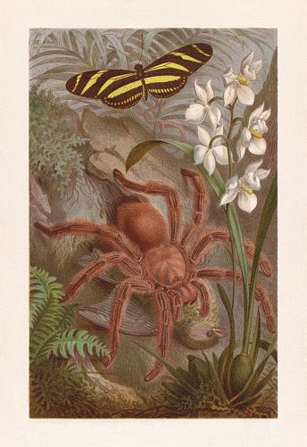 Tarantula (Avicularia avicularia) and zebra longwing (Heliconius charitonius). Chromolithograph, published in 1884.