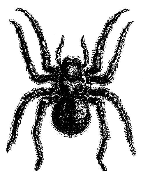 tarantula wolf spider (lycosa tarantula) - tarantula stock illustrations