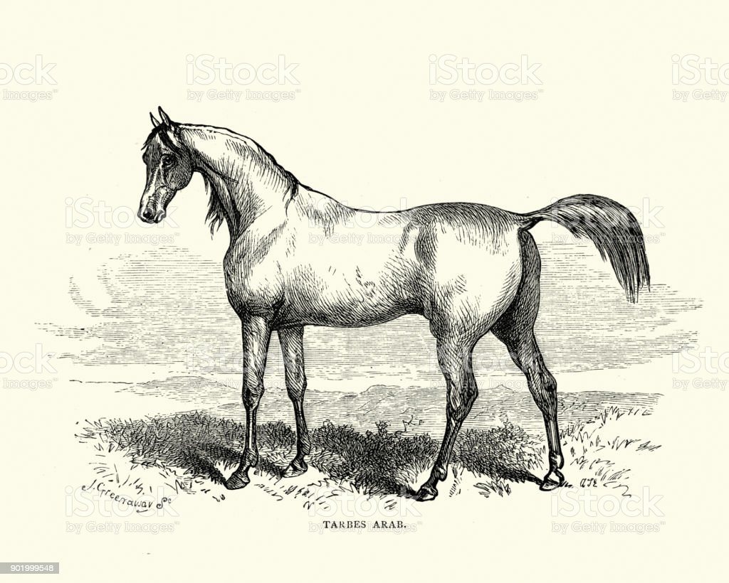 Tarbes arab horse, 19th Century vector art illustration