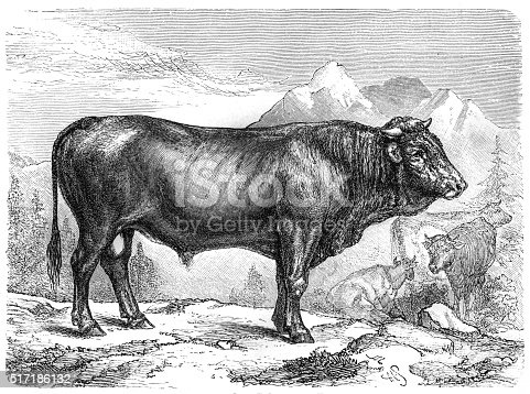 Taurus the Schwyz breed