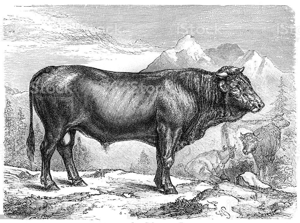 Taurus the Schwyz breed vector art illustration