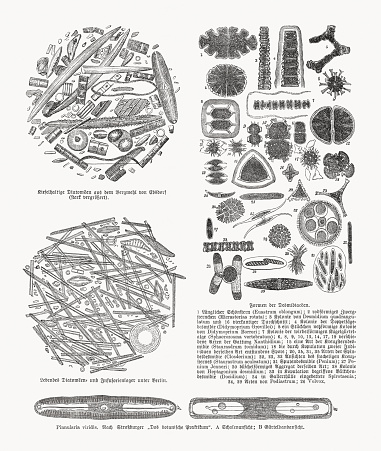 Taxonomy of diatoms (Bacillariophyta), wood engravings, published in 1893