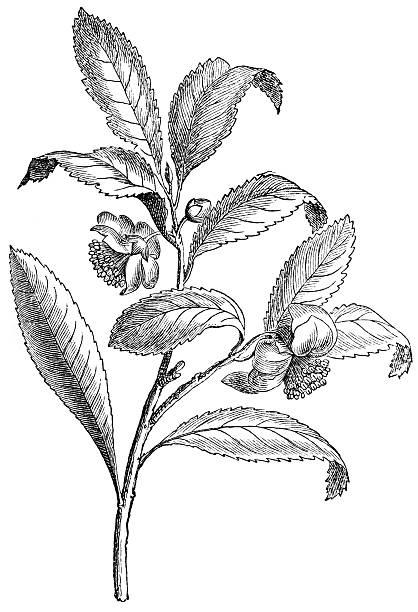 illustrazioni stock, clip art, cartoni animati e icone di tendenza di tè - camellia sinensis