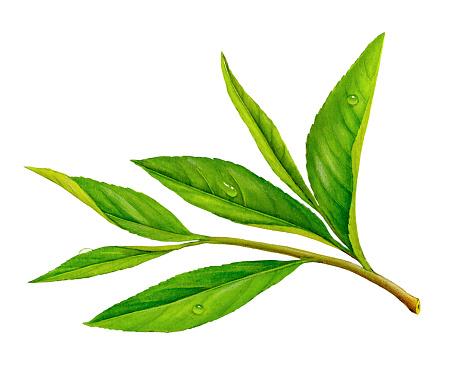 An illustration of a sprig of tea leaves.
