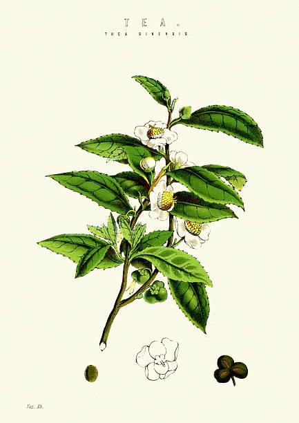 illustrazioni stock, clip art, cartoni animati e icone di tendenza di pianta di tè - camellia sinensis