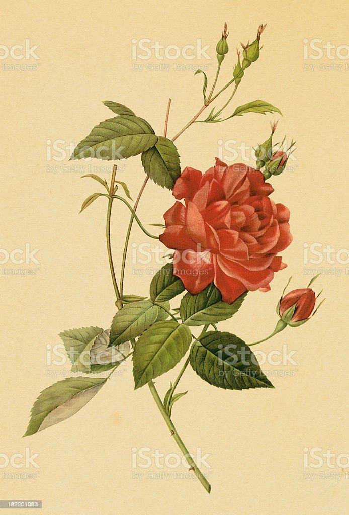Tea rose | Antique Flower Illustrations royalty-free stock vector art
