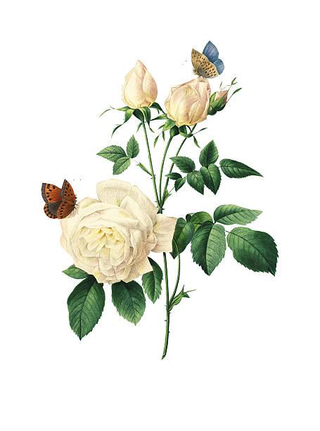 illustrazioni stock, clip art, cartoni animati e icone di tendenza di fiore rosa tè/redoute illustrazioni - camellia sinensis