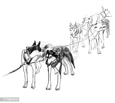 istock Team of sled dogs ready to run pencil sketch 1279880845