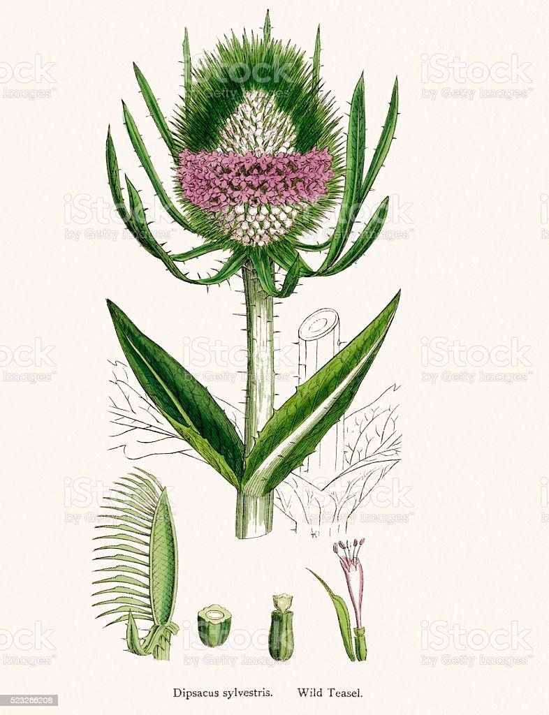 Teasel plant scientific illustration vector art illustration