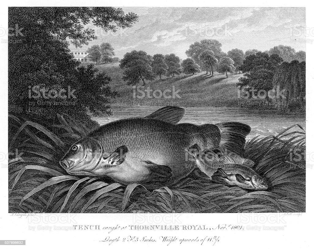 Tench fish engraving 1802 vector art illustration