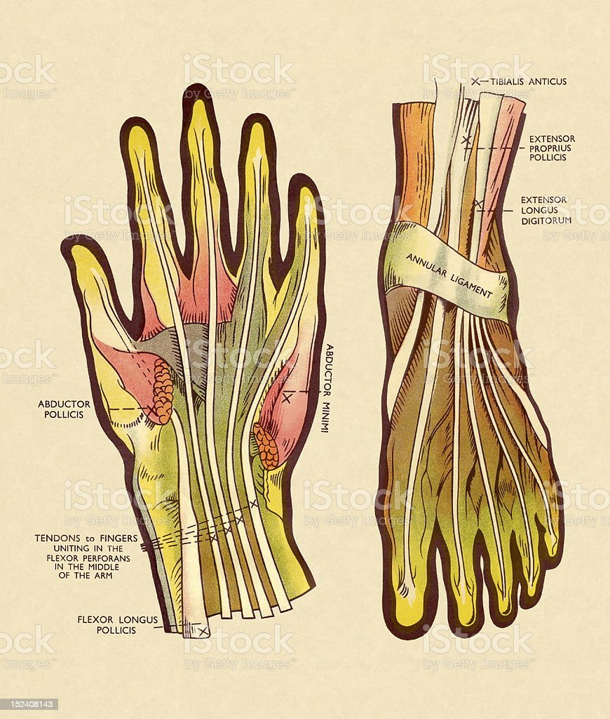 Tendons and Ligaments in Hand and Foot royalty-free tendons and ligaments in hand and foot stock vector art & more images of anatomy