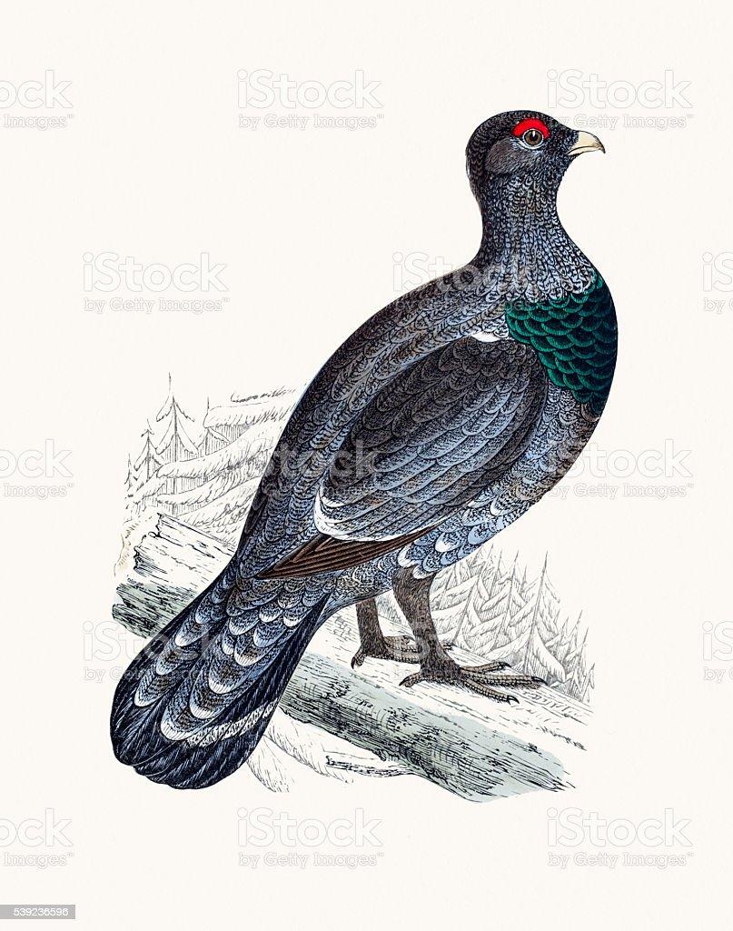Tetrao Capercally pájaro ilustración de tetrao capercally pájaro y más banco de imágenes de animal libre de derechos