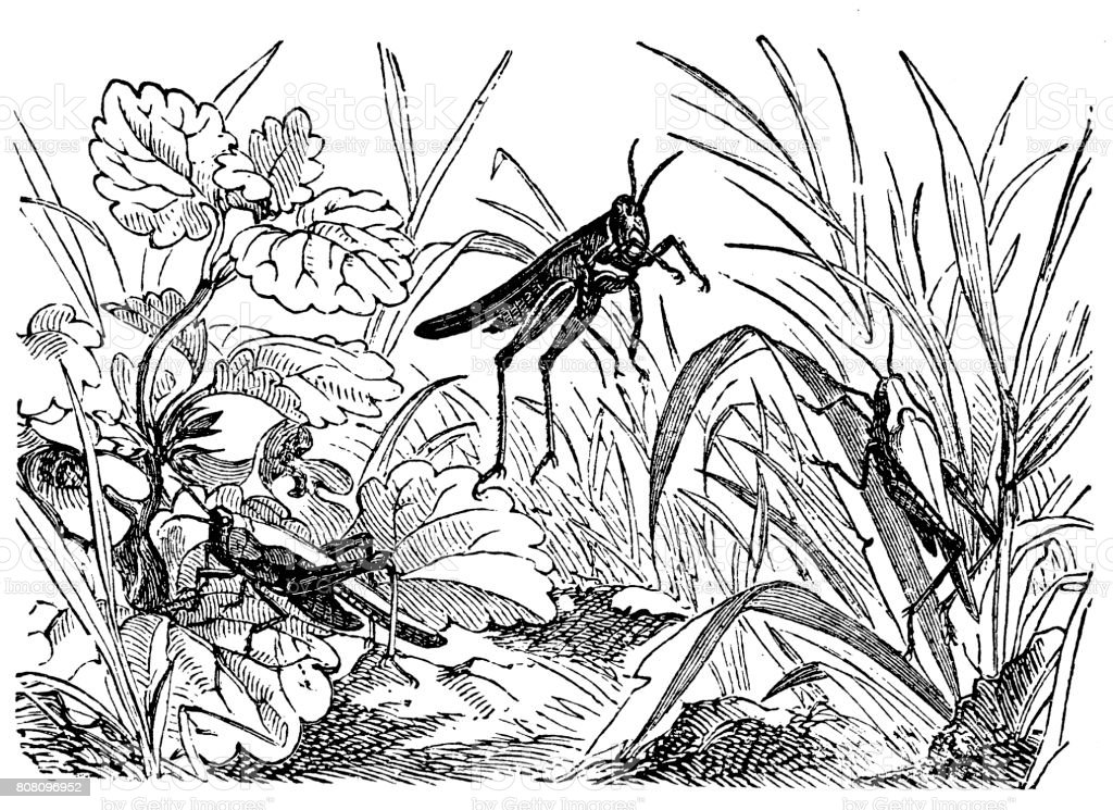 Tetrix subulata (Slender Grasshopper) vector art illustration