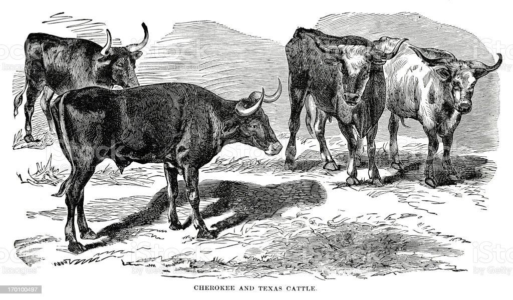 texas longhorn cattle vector art illustration