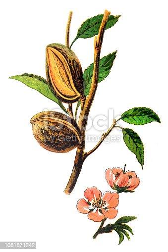 Illustration of a The almond (Prunus dulcis, syn. Prunus amygdalus)