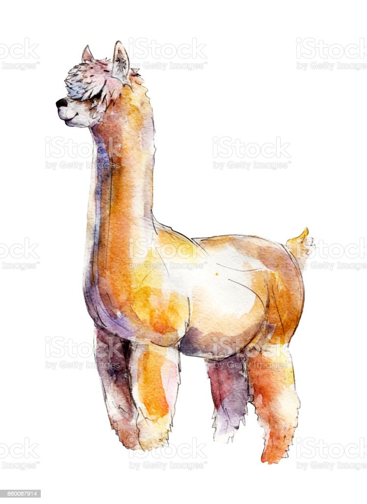 The alpaca, watercolor illustration  isolated on white background. vector art illustration
